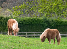 Shetland ponies. Two Shetland Ponies grazing peacefully in a field in Scotland Stock Photography
