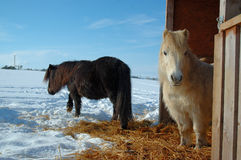Shetland Ponies. In winter Royalty Free Stock Photography