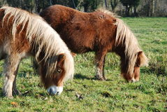 Shetland ponies. Two shetland ponies in a nice green field in France Royalty Free Stock Images
