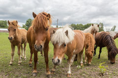 Shetland ponies Stock Photos