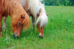 Shetland Ponies. Eating royalty free stock photos