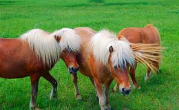 Shetland Ponies Royalty Free Stock Photo