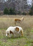Shetland Ponies Grazing Stock Photos