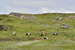 Shetland ponies. Roaming freely and grazing on their native landscape near Scalloway, Mainland, Shetland isles, Scotland royalty free stock photos