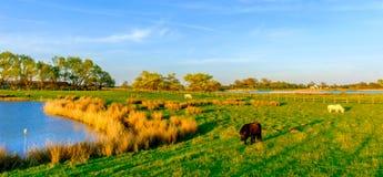 Shetland Ponies royalty free stock photos