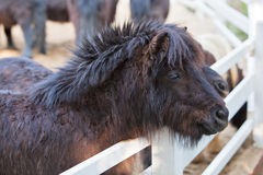 Shetland ponies standing by the fence Royalty Free Stock Image