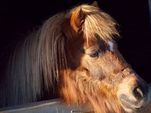 Shetland ponny Arkivbild