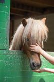 Shetland ponny fotografering för bildbyråer