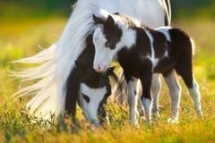 Shetland ponny med fölet royaltyfri fotografi