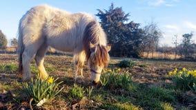 Shetland ponny & påskliljor fotografering för bildbyråer