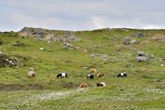 Shetland ponnyer Royaltyfria Foton