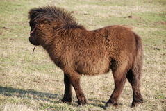 Shetland pony. Black shetland pony standing in field during winter Royalty Free Stock Photos