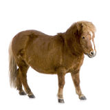 Shetland pony (13 years) royalty free stock photo