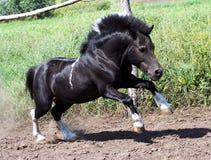 Shetland pony Royalty Free Stock Image