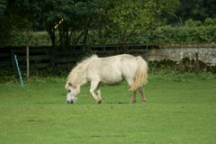 Shetland pony Stock Photography