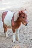 Shetland pony 2 Royalty Free Stock Photography