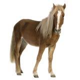 Shetland pony (2 years) Royalty Free Stock Image