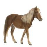 Shetland pony (2 years) royalty free stock photo