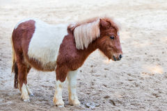Shetland pony. A shetland pony is standing on the sand Stock Photo