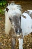 Shetland-Pony Stockbild