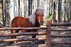 Shetland pony. In a ring-fence in the forest area royalty free stock photo