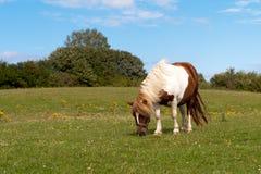 Shetland-Pony Lizenzfreie Stockfotografie