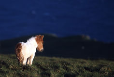 Shetland Pony. Foal royalty free stock photos