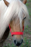 Shetland pony. Close up portrait stock photo