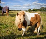 Shetland pony approaching in a paddock. A Shetland pony approaching in a paddock, with horse and blue skies in the background Royalty Free Stock Photography