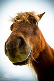 A Shetland pony Stock Photography