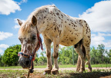 Shetland pony. Beautiful spotted shetland pony standing tethered in field Stock Photo