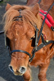 Shetland pony. A Shetland pony with blinders or blinkers Royalty Free Stock Images