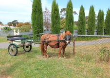 Shetland pony with buggy. Tied to a fence waiting for owner to return Stock Photography