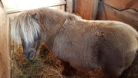 Sheepish Shetland pony stock photos