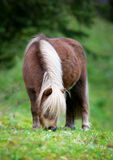 Shetland pony eating grass at field Stock Images