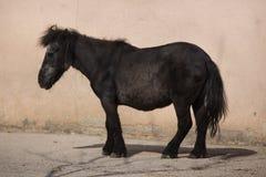 Shetland pony Equus ferus caballus f. domestica Stock Photography