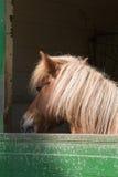 Shetland pony Stock Photography