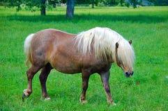 Shetland Pony. In field Stock Image