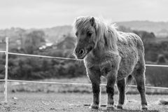 Shetland Pony Royalty Free Stock Images