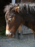 Shetland pony foal Stock Photography