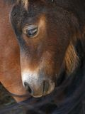 Shetland pony foal Royalty Free Stock Photos