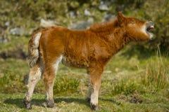 Shetland Pony Foal stock afbeeldingen