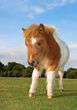 Shetland Pony Foal Fotografia Stock Libera da Diritti