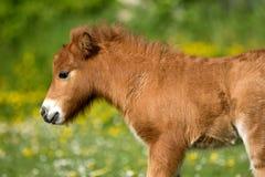 Shetland Pony Foal Royaltyfri Fotografi