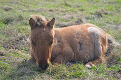Shetland pony foal Stock Photo