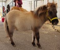 Shetland Pony Fowl Fotografia Stock Libera da Diritti