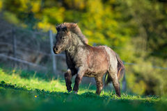 Shetland pony galloping in summer. Royalty Free Stock Image