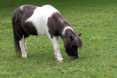 Shetland Pony. A shetland pony grazing in the pasture Royalty Free Stock Photo