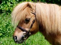 Shetland Pony Head Shot Fotografie Stock Libere da Diritti