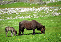 Shetland pony and her baby, Shetland Royalty Free Stock Photo